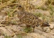 Double-banded Sandgrouse f.