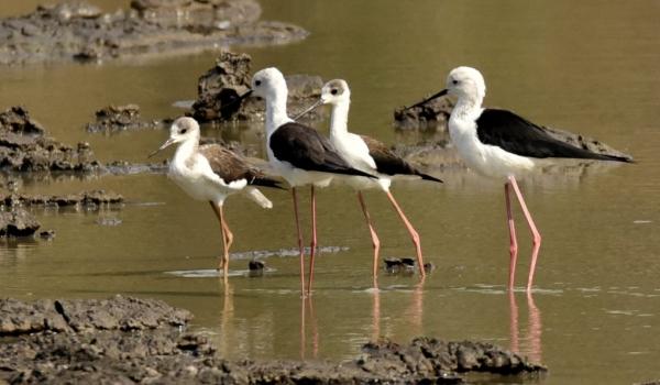 Black-winged Stilt family