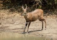 Bushbuck – young male