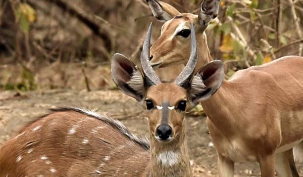 Bushbuck m. with Impala