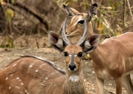 Bushbuck m. with Impala
