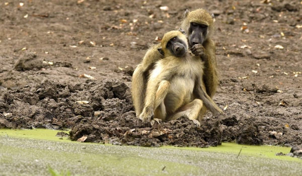 Chacma Baboons in love?
