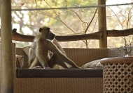 Chacma Baboon on holidays