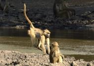 Chacma Baboon jump