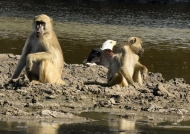 Chacma Baboons & Fish Eagle