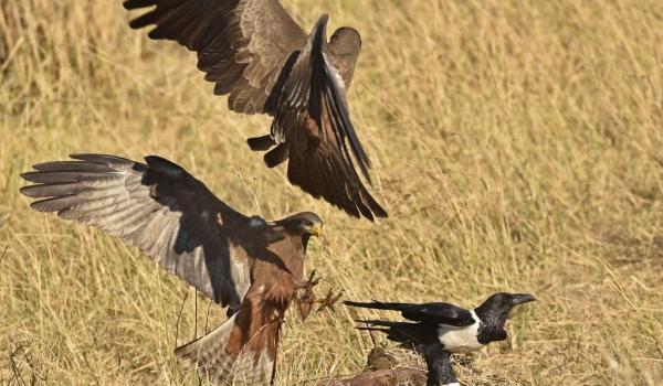 Yellow-billed Kites&Pied Crow