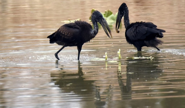 Open-billed Storks with snail