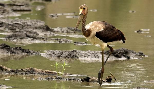 Saddle-billed Stork –  juv.