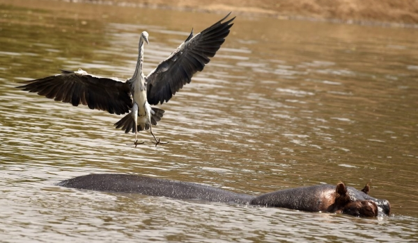 Grey Heron with Hippo