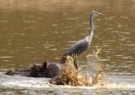 Grey Heron with Hippo