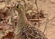 Double-banded Sandgrouse m.