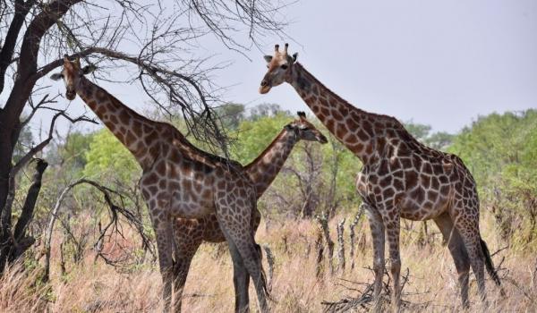 Giraffes-funny illusion!