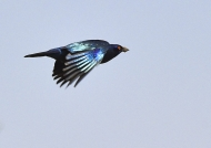 Blue-eared Starling with mud