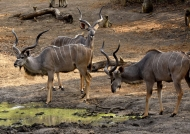 Greater Kudus – males