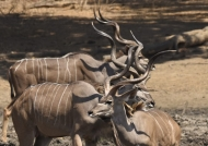 Greater Kudu Horns