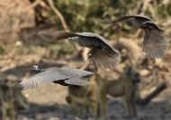 Helmet Guineafowls in flight