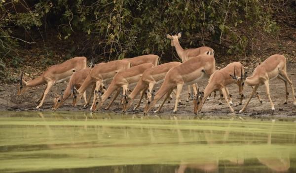 Group of Impalas – females