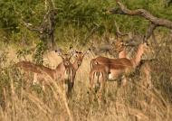 Impalas hiding in the bush