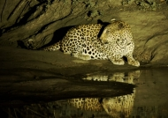 Leopard in the limelight…