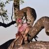Leopard f. enjoying her meal!