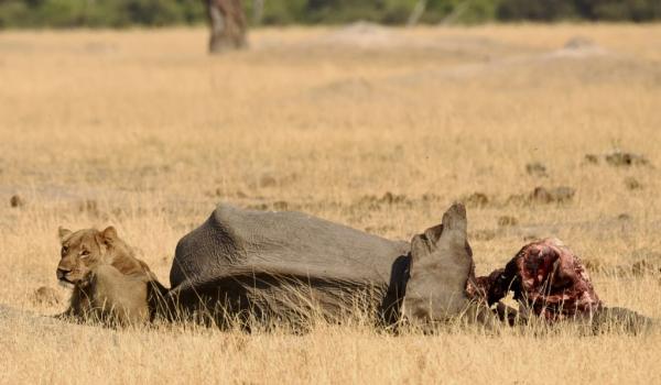 Watching on the elephant kill