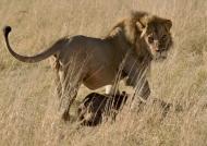Lion hauling a young Buffalo