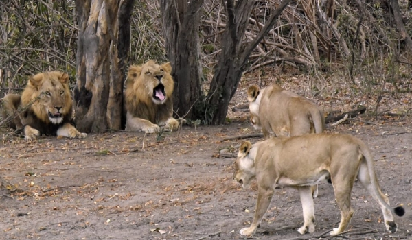 Lionesses going to their males