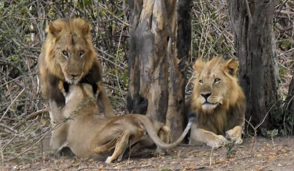Lioness cuddling his «man»