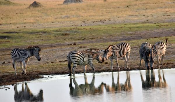 Plains Zebras at sunset