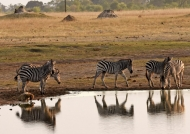 Plains Zebras at sunset