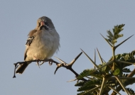 Scaly-feathered Finch