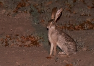 Scrub Hare at night