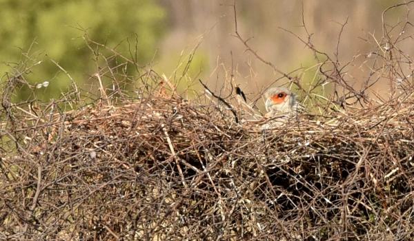 Secretary Bird in the nest