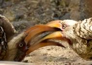 Hornbills – (2nd trip)