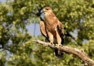 Tawny Eagle – juv.