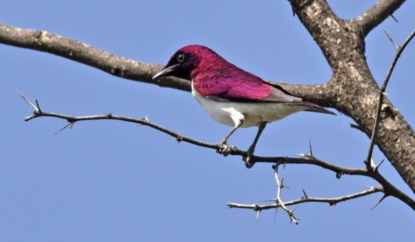 Violet-backed Starling – male