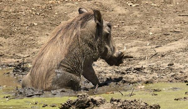 Warthog bathing