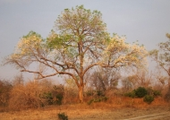 Wing Pod Tree in dry season