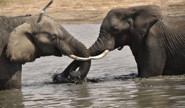 2 young male Elephants …