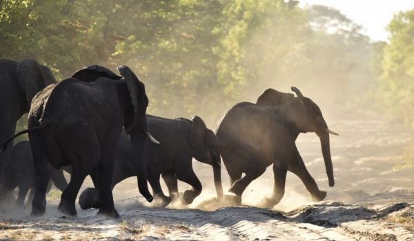 Elephants running at sunrise…