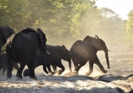 Elephants running at sunrise…