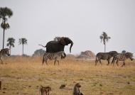 Elephant & Zebras strolling…