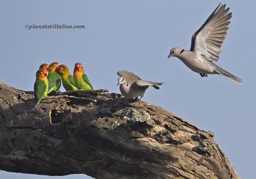 Lilan's Lovebirds