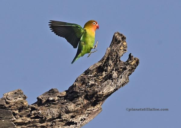 Lilian's Lovebird