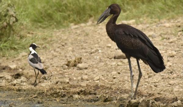 African Open-billed Stork
