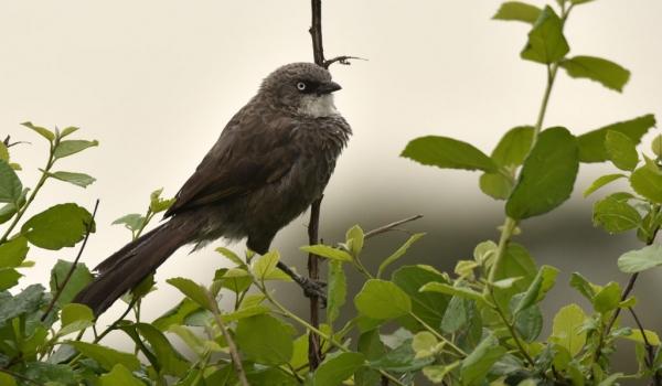 Black-lored Babbler – vepres