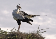 Secretary Bird looking around