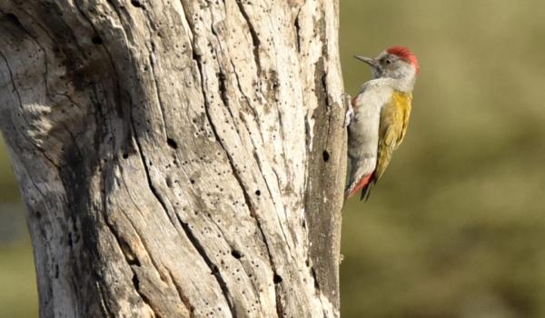 Grey Woodpecker – male