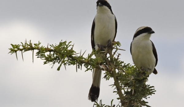 Grey-backed Fiscals – couple