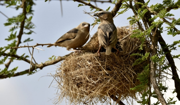 Grey-capped Social Weavers